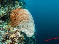Annella mollis & Sea Whips